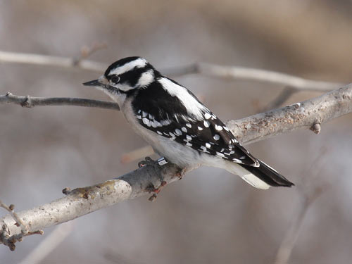 female Downy Woodpecker - photo by Phil Swanson