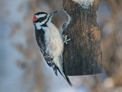 male Hairy Woodpecker- photo by Phil Swanson