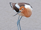American Avocet - photo by Josef Kren