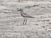 juvenile Black-bellied Plover - photo by Phil Swanson