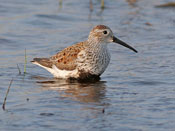 Dunlin - photo by Phil Swanson