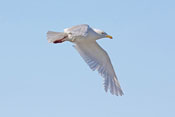 Glaucous Gull - photo by Phil Swanson