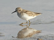 Least Sandpiper (winter) - photo by Phil Swanson