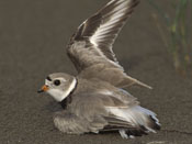 Piping Plover - NEBRASKAland Magazine/Nebraska Game and Parks Commission