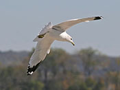 Ring-billed Gull - photo by Phil Swanson