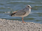 juvenile Ring-billed Gull - photo by Phil Swanson