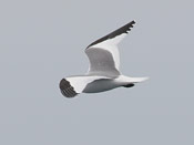 Sabine's Gull - photo by Phil Swanson