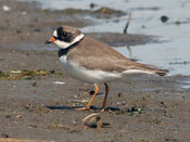 Semipalmated Plover - photo by Phil Swanson