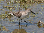 Semipalmated Sandpiper - photo by Phil Swanson