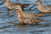 Short-billed Dowitcher - photo by Phil Swanson