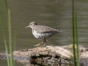 Spotted Sandpiper - photo by Phil Swanson