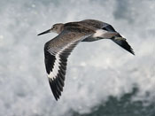 Willet - photo by Phil Swanson
