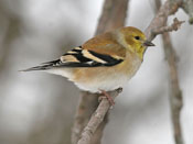 female American Goldfinch - photo by Phil Swanson