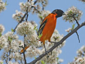 Baltimore Oriole - photo by Phil Swanson