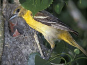 female Baltimore Oriole - NEBRASKAland Magazine/Nebraska Game and Parks Commission