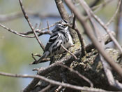 Black-and-white Warbler - photo by Phil Swanson