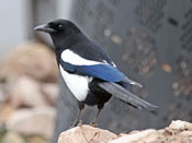 Black-billed Magpie - photo by Phil Swanson