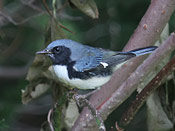 Black-throated Blue Warbler - photo by Phil Swanson
