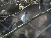 Blue-gray Gnatcatcher - photo by Phil Swanson