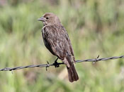 female Brown-headed Cowbird - photo by Phil Swanson