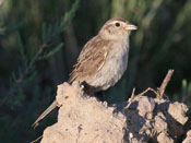 Cassin's Sparrow - photo by Phil Swanson
