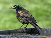 Common Grackle - photo by Phil Swanson