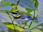 Golden-winged Warbler - photo Phil Swanson