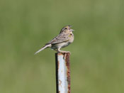Grasshopper Sparrow - photo by Phil Swanson