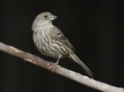 female House Finch - photo by Phil Swanson