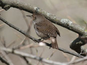 House Wren - photo by Phil Swanson