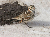 male Lapland Longspur - photo by Phil Swanson