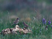 female Lark Bunting - NEBRASKAland Magazine/Nebraska Game and Parks Commission