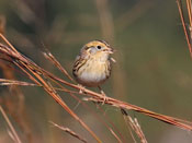 Le Conte's Sparrow - photo by Phil Swanson