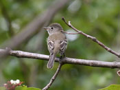 Least Flycatcher - photo by Phil Swanson
