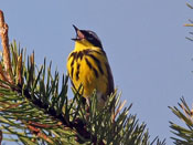 Magnolia Warbler - photo by Phil Swanson