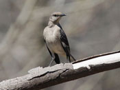 Northern Mockingbird - photo by Phil Swanson