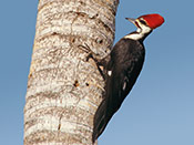 Pileated Woodpecker - photo by Phil Swanson
