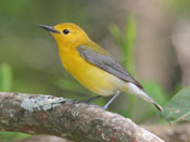 male Prothonotary Warbler - photo by Phil Swanson