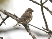 female Purple Finch - photo by Phil Swanson