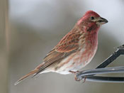 male Purple Finch - photo by Phil Swanson