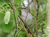 Red-eyed Vireo - photo by Phil Swanson