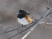Spotted Towhee - photo by Phil Swanson