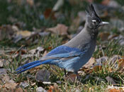 Steller's Jay - photo by Phil Swanson