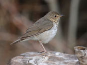 Swainson's Thrush - photo by Phil Swanson