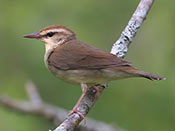 Swainson's Warbler - photo by Phil Swanson