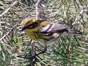 Townsend's Warbler - photo by Phil Swanson