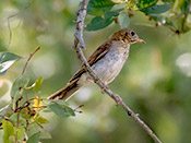 Veery - photo by Phil Swanson