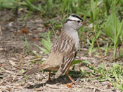 White-crowned Sparrow - photo by Phil Swanson