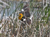 male Yellow-headed Blackbird - photo by Phil Swanson