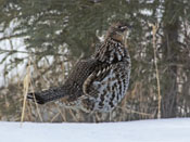 male Ruffed Grouse - photo by Phil Swanson